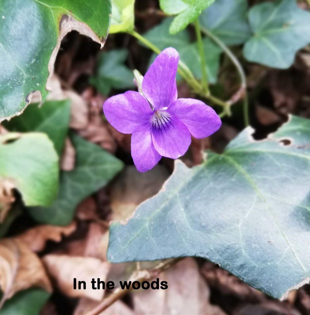 Woodspurple